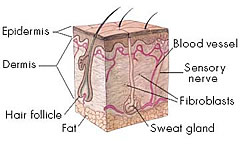 An example image of the layers of the skin